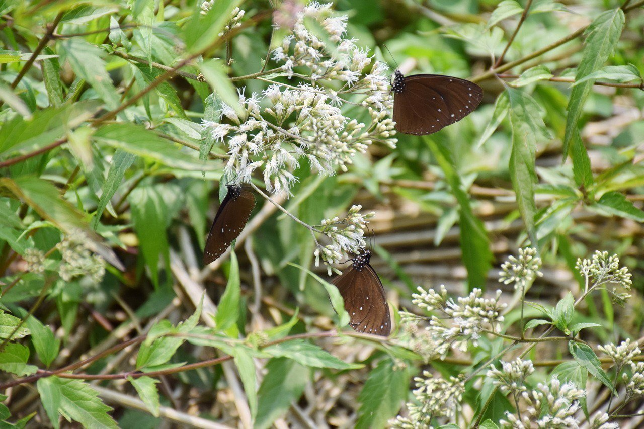林內鄉在「蝶道」附近廣闢蜜源植物園,吸引不少紫斑蝶前來覓食,養足體力完成北飛旅程...
