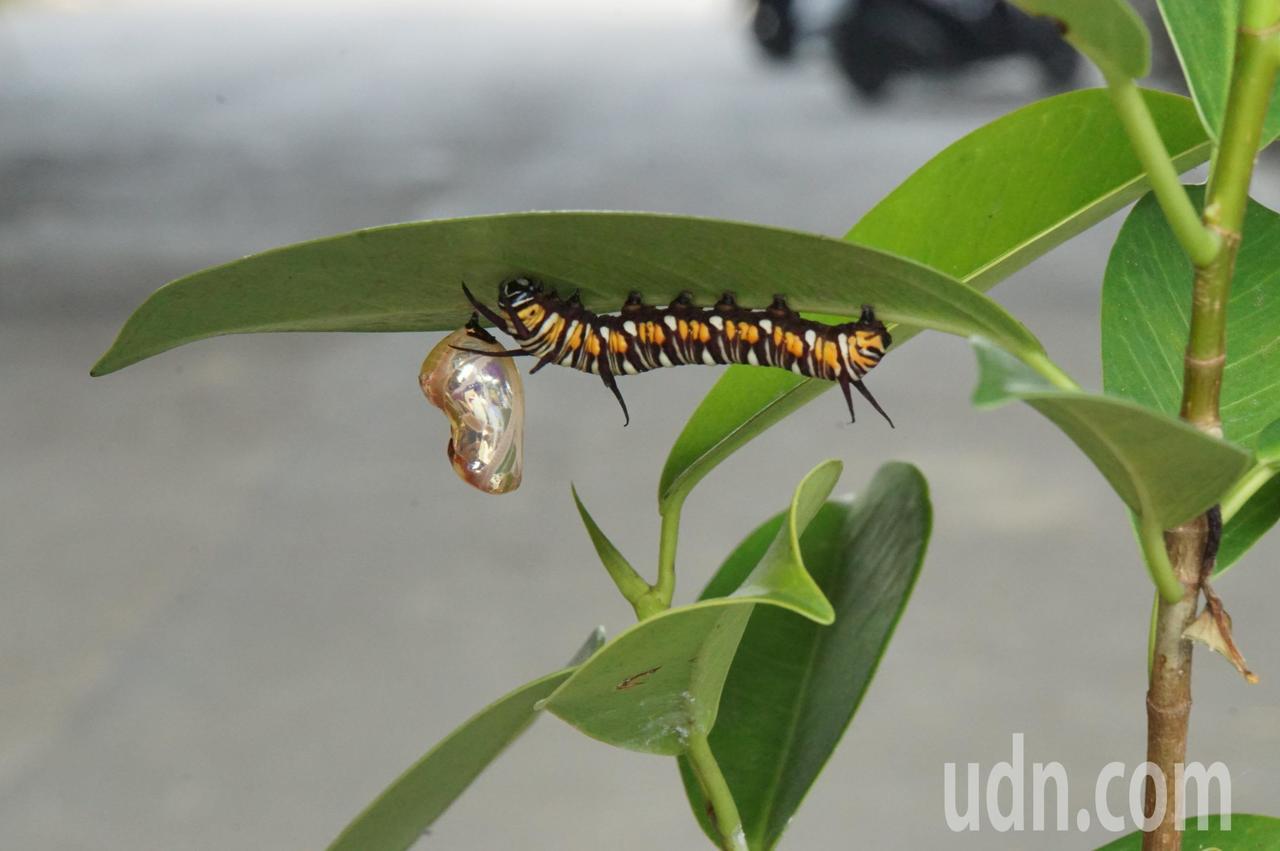 在林內鄉全力保護紫斑蝶生態下,難得出現金蛹幼蟲,顯見有遷徙習性的紫蝶已有部分落腳...