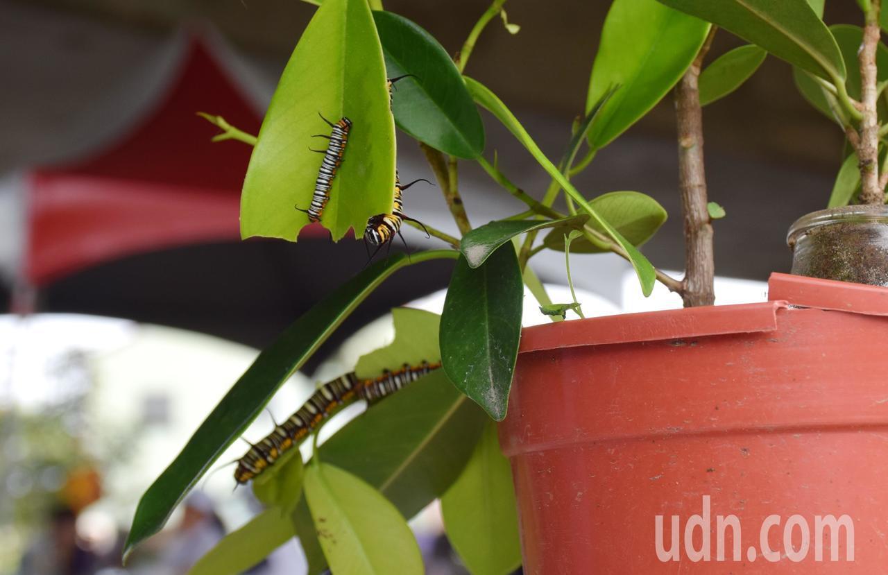在林內鄉全力保護紫斑蝶生態下,難得出現幼蟲,顯見有遷徙習性的紫蝶已有部分落腳林內...