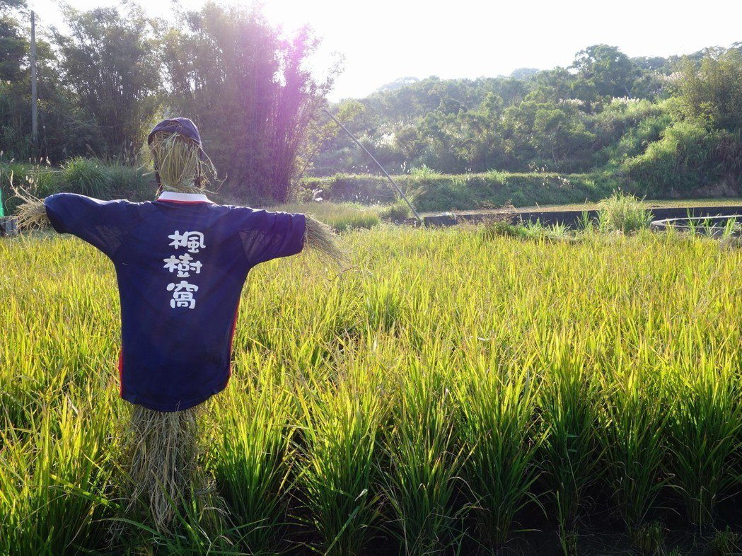 楓樹窩石虎米採無毒栽種,希望能喚回農田生機。 圖/余建勳提供