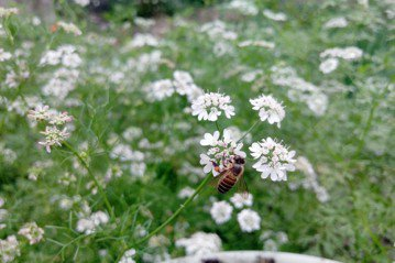 養蜂真的能夠保育蜜蜂嗎?——談養蜂的誤解與挑戰