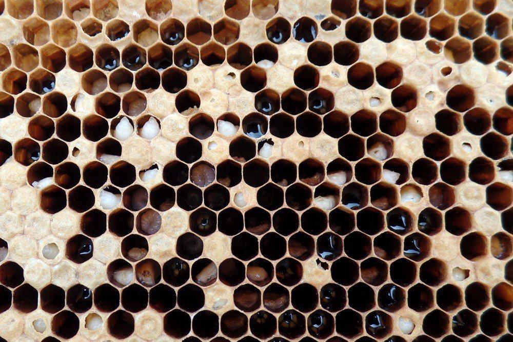 感染囊雛病的蜂群。 圖/作者自攝