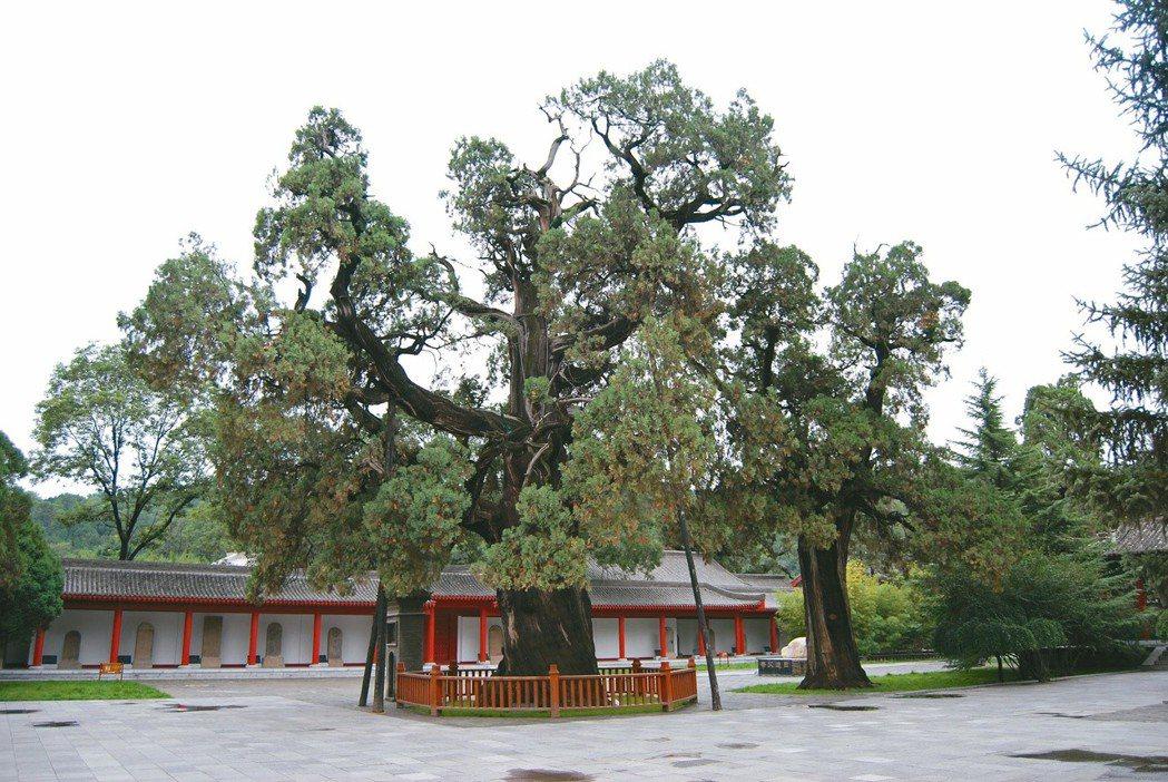 軒轅廟黃帝手植柏樹,讓作家陳若曦讚嘆不已。 圖/聯合報系資料照片