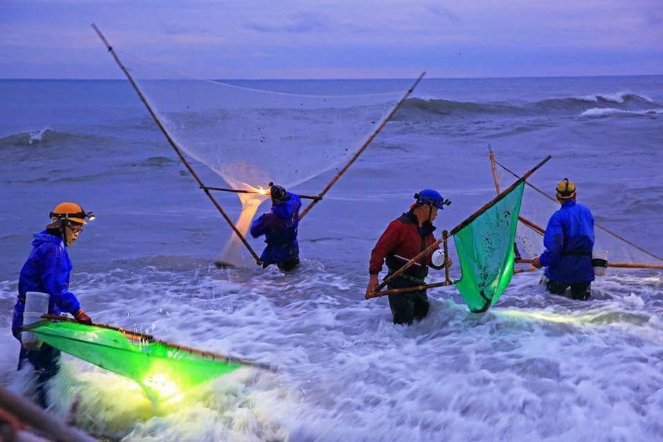 台灣的苗況慘澹對日本的影響甚鉅,圖為花蓮漁民採集鰻苗。 圖/韓玉山教授提供