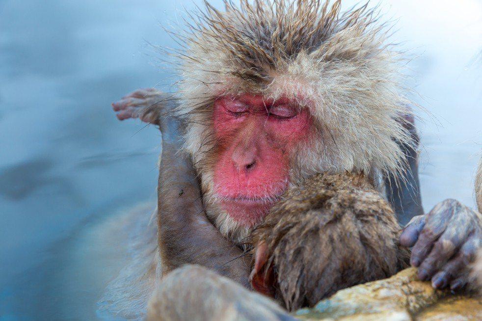 研究顯示,猴子真的愛泡湯,特別是母猴,泡湯會讓猴子好舒壓。 圖片來源:ingim...