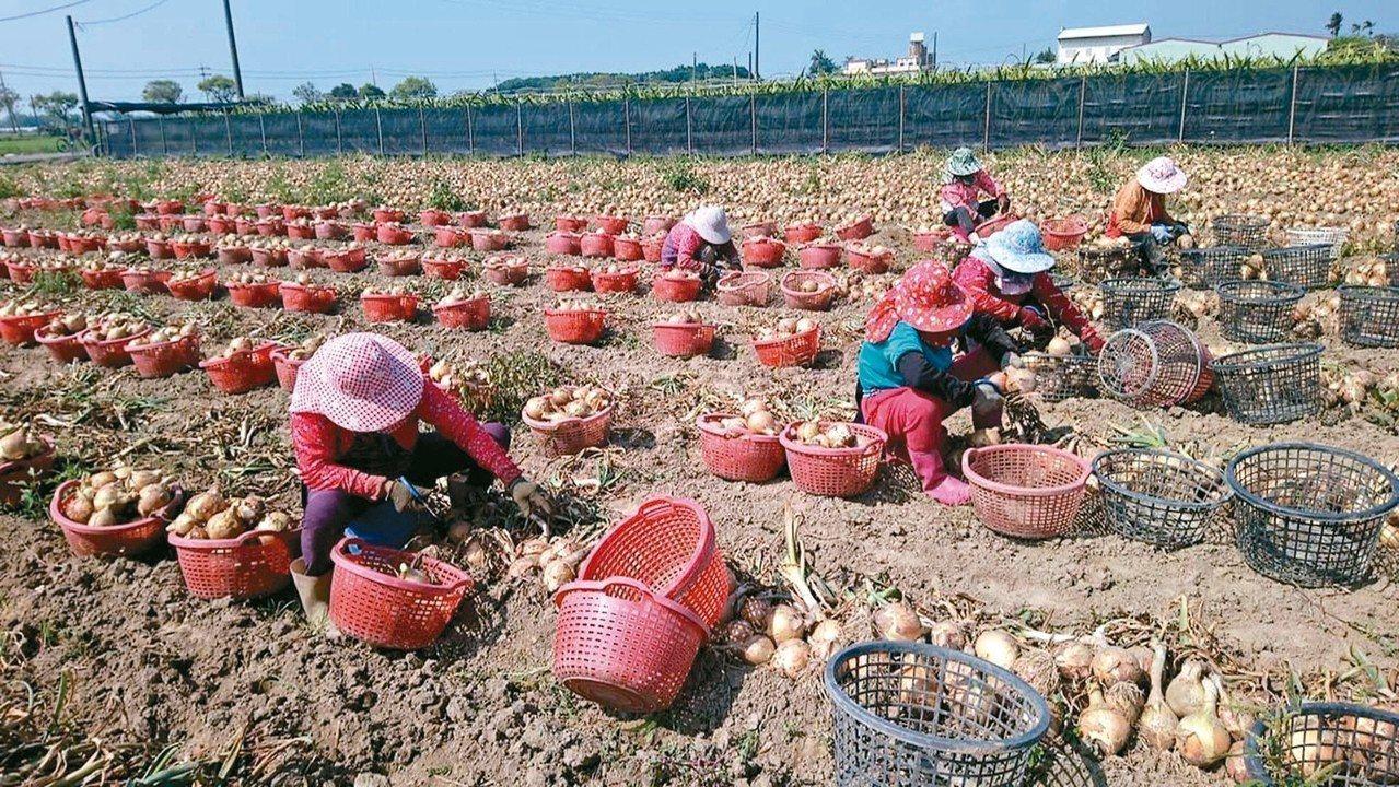 六腳鄉永賢村是全國老化最高的村落,洋蔥田裡整排都是七十多歲的老婦人。擔心政府再不...