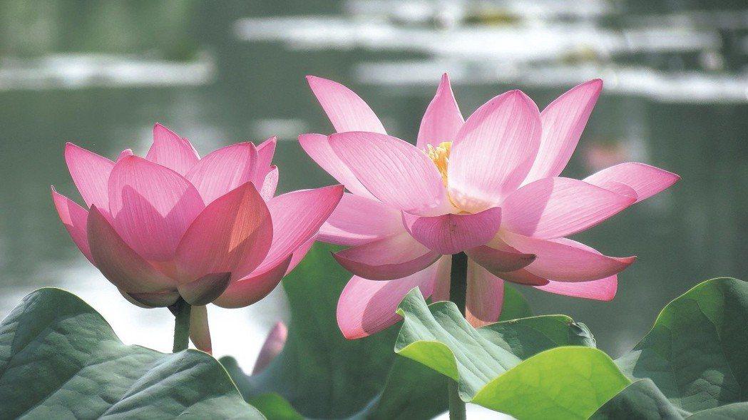 台南白河蓮花節。 報系資料照
