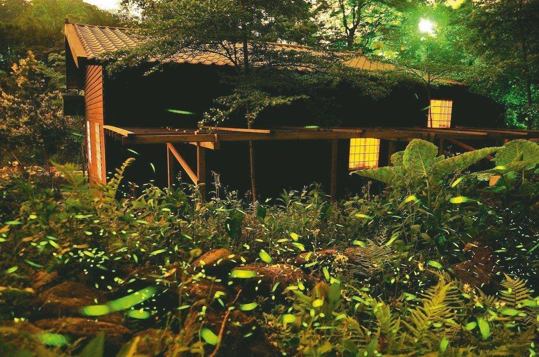 三峽小暗坑螢火蟲。 圖/新北市農業局提供