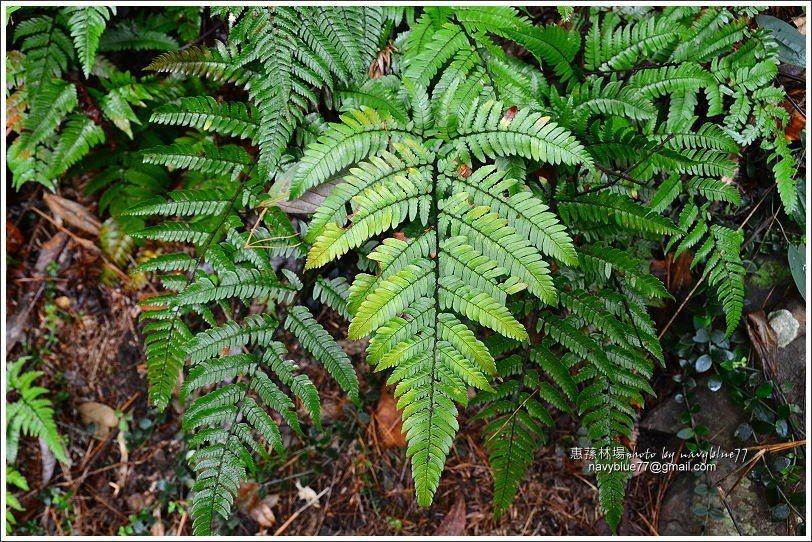 ↑林場的特有植物——台灣蘇鐵蕨,全台以惠蓀林場為主要分佈地。