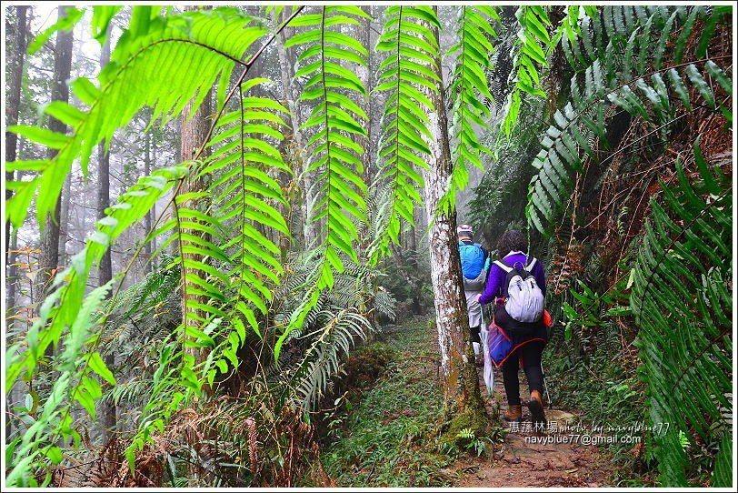 ↑由樹上的苔蘚與茂盛的蕨類,可知林場內氣候濕潤、水氣充足。