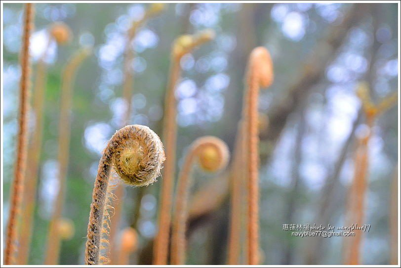 ↑二月初的蕨類嫰芽十分可愛。