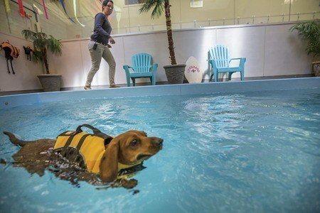 一隻過重的臘腸狗在動物寄宿旅館游泳(照片/美國國家地理學會提供)