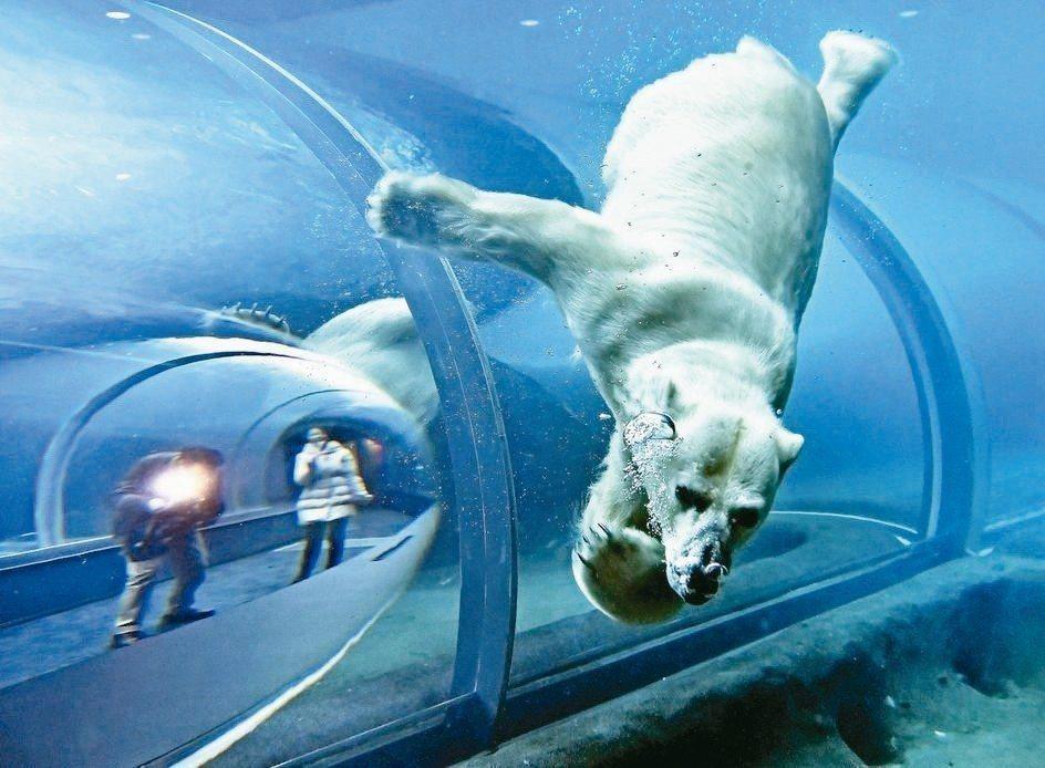 札幌市圓山動物園北極熊園區,18公尺長海底隧道,零死角看北極熊自在優游。 圖/a...
