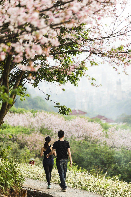 十八份拐圳步道是知名的賞櫻步道,但也是野餐的祕境。圖/北投老爺酒店提供