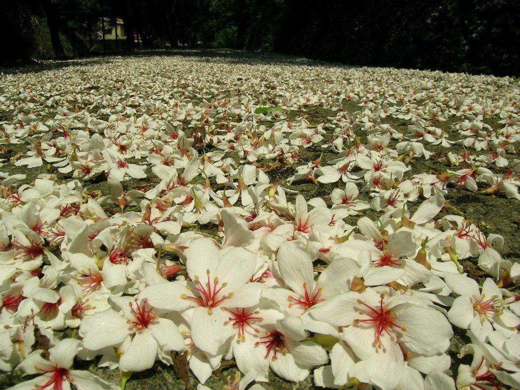 千年桐的雄株落花,場面壯觀迷人。 圖/彭宏源提供
