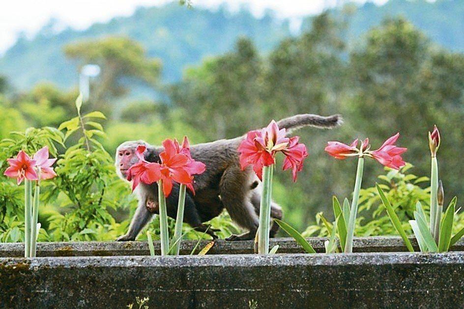 佛光大學校園孤挺花盛開,吸引遊客,山上的猴子也來湊熱鬧。 圖/佛光大學提供