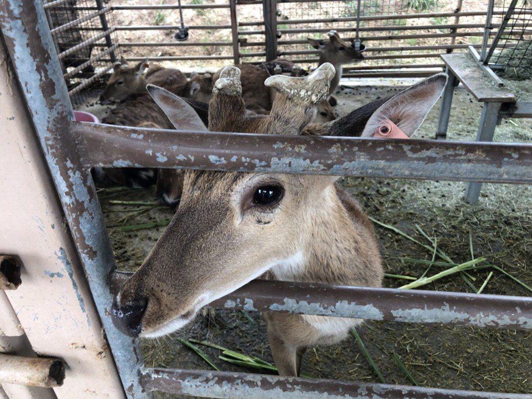 飼養梅花鹿是一門專業,環境要保持整潔、乾燥,食物選擇也要謹慎,若不諳飼養方法,對...