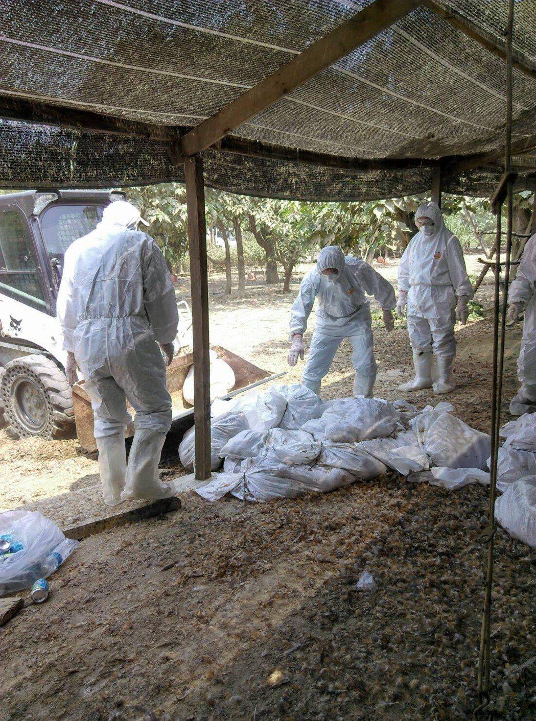 台南市歸仁區1土雞場確診H5N2,撲殺1萬820隻。圖/台南市動物防疫保護處提供