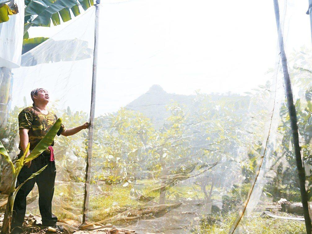 高雄旗尾山(後方山頭)一帶猴子數量多,山下農民為了防猴想盡辦法,李致弘在果園築起...