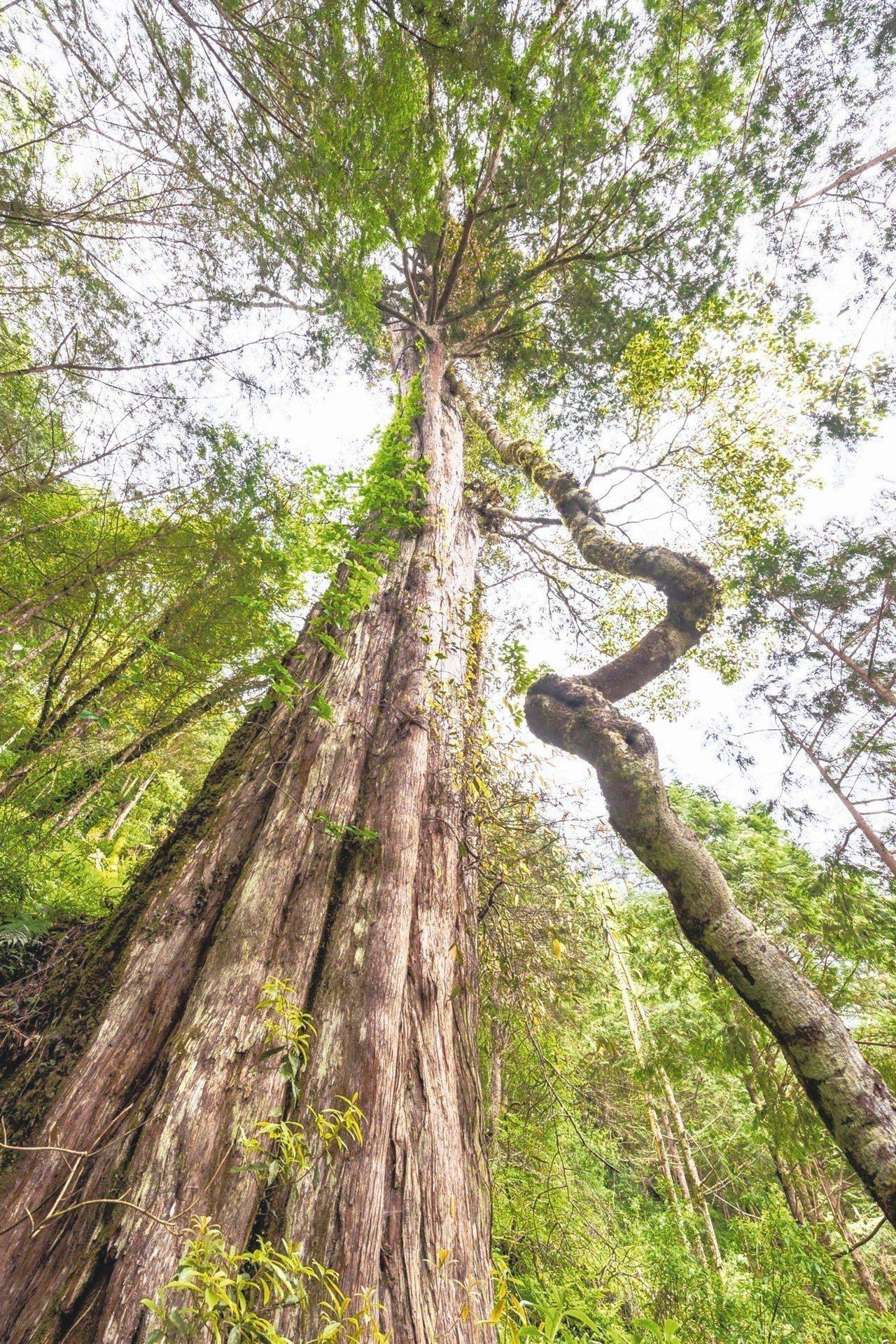 棲蘭神木園中最老的神木「孔子」。 記者余承翰/攝影