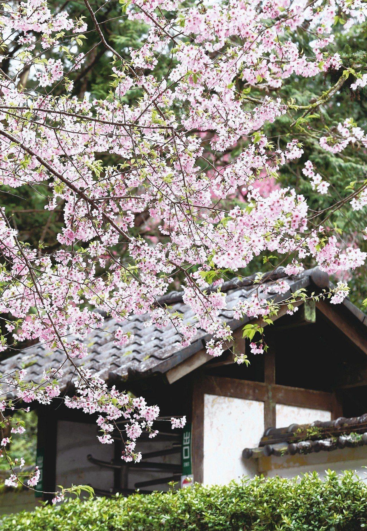 明池森林遊樂區櫻花盛開。 記者余承翰/攝影
