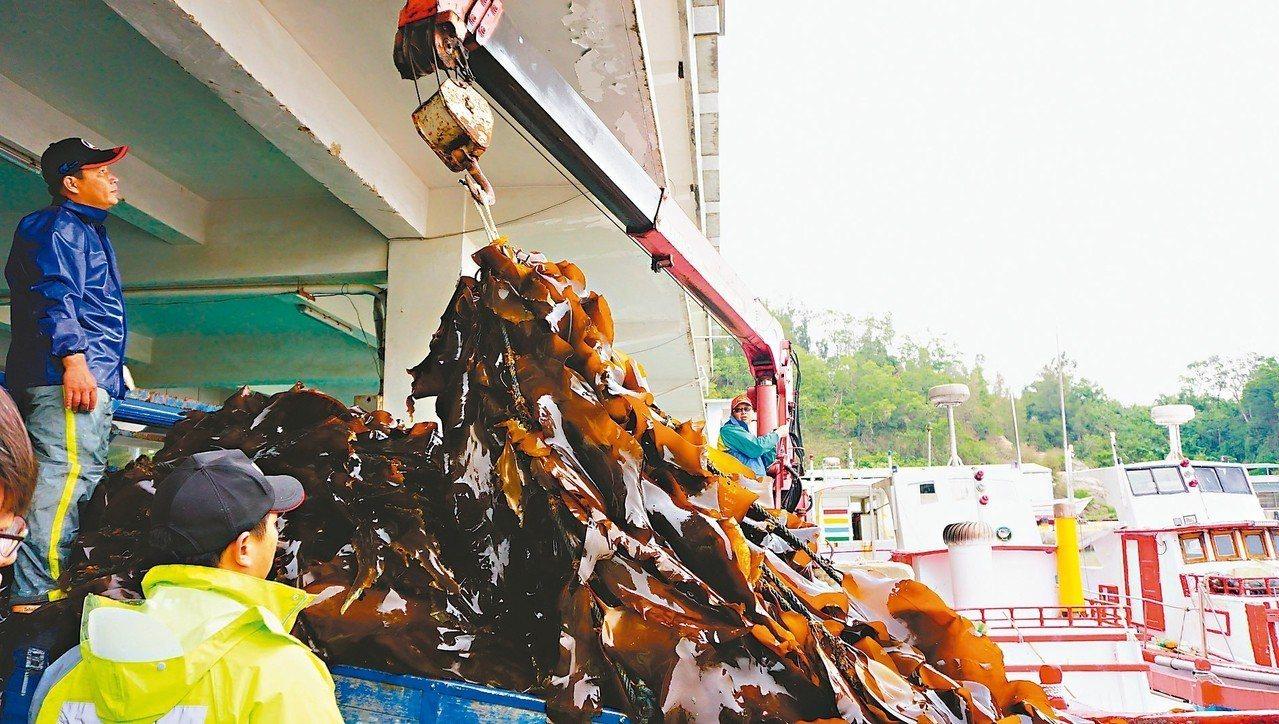 金門縣水產試驗所養殖的海帶昨起採收,海帶生長情況良好。 記者蔡家蓁/攝影