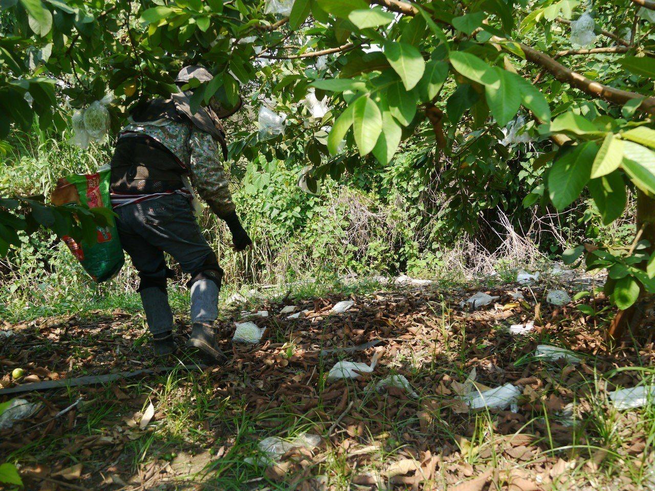 高雄旗山李家果園位在旗尾山下,芭樂樹下地面遺留空袋,多數是猴群偷芭樂後丟棄在地。...