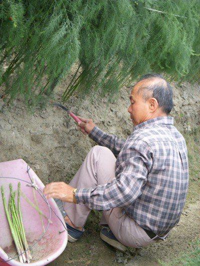 農業人口老化,安定蘆筍價格雖穩定,但推廣面積不增反減。圖/安定農會提供
