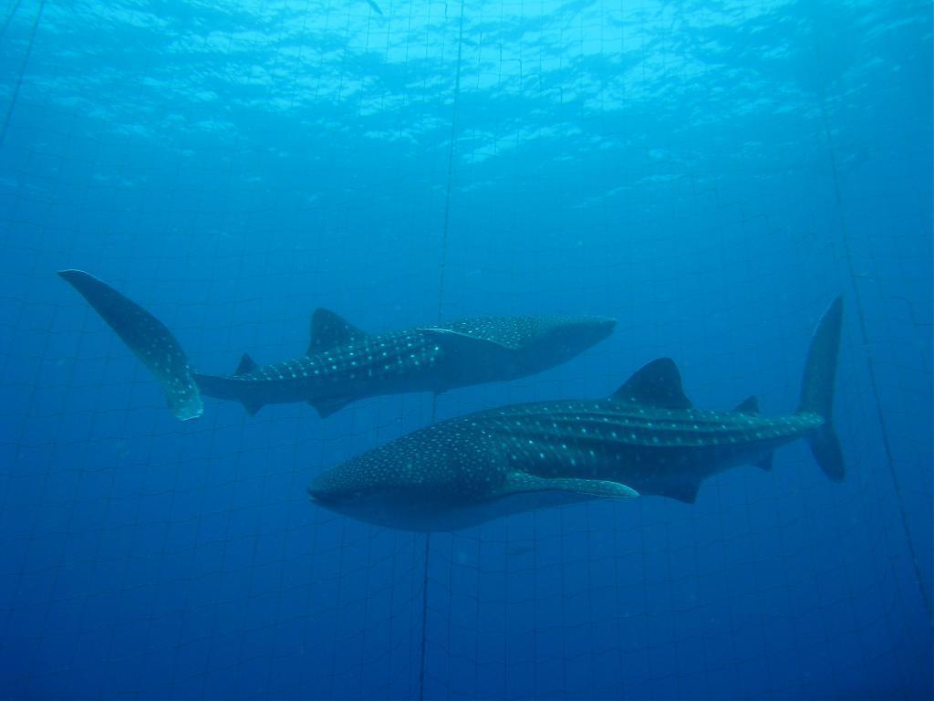 ▲沖繩鯨鯊共游。(圖/Tripbaa趣吧!亞洲自由行專家)