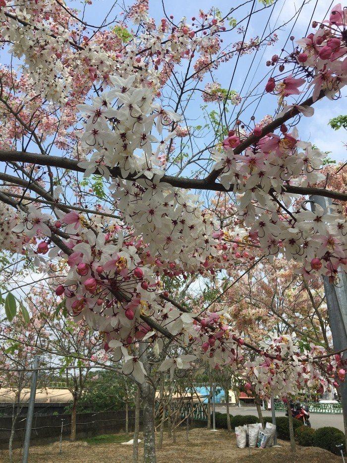 花旗木盛開比美櫻花