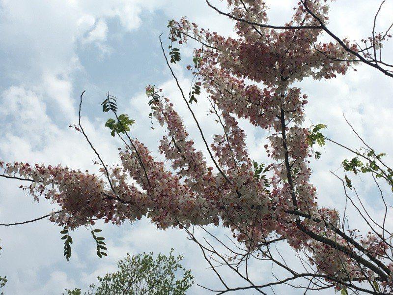 雲林古坑休息區也有花旗木