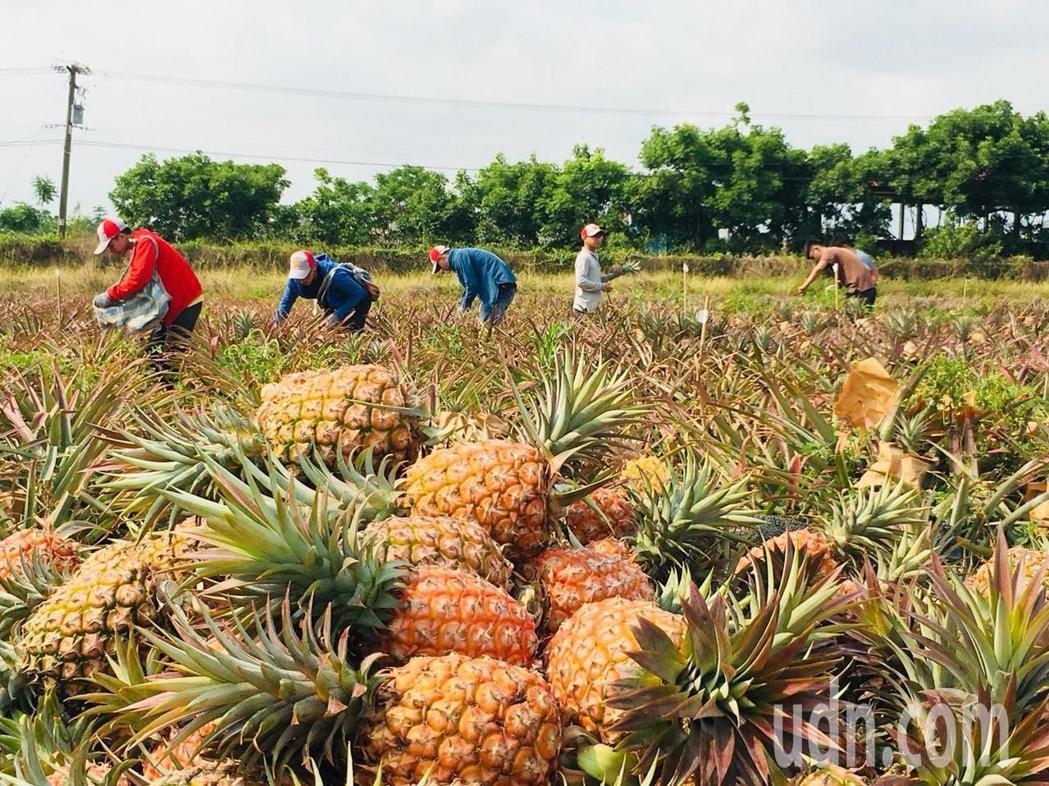 幾名來自馬來西亞的外籍學生,假日到鳳梨園打工,前進生產最前線,進一步掌握產品屬性...