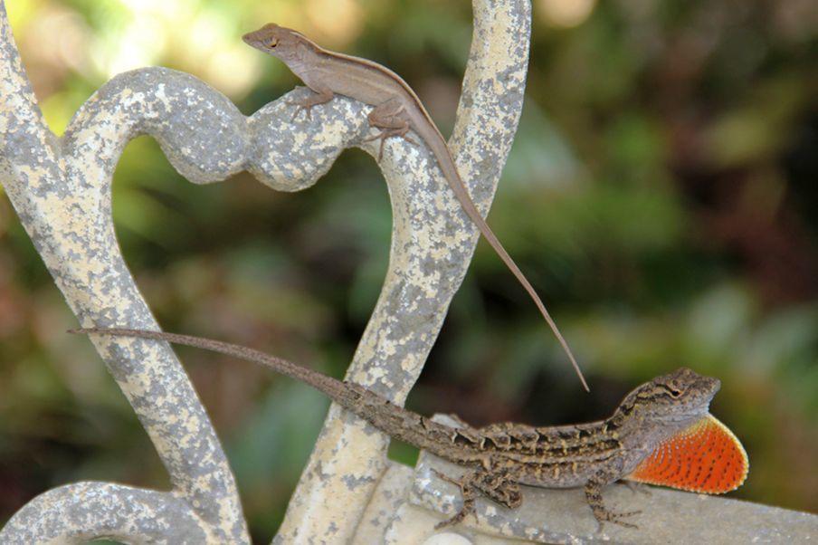 嘉義縣政府根據林務局委託學者調查,改變今年獵捕外來種沙氏變色蜥賞金規定,上周五首...