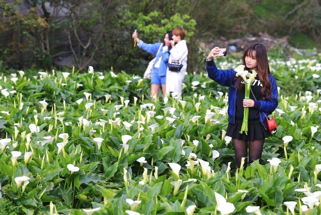 陽明山竹子湖海芋花季,吸引不少民眾前來觀賞、採摘。聯合報系資料資料照/記者林伯東攝影