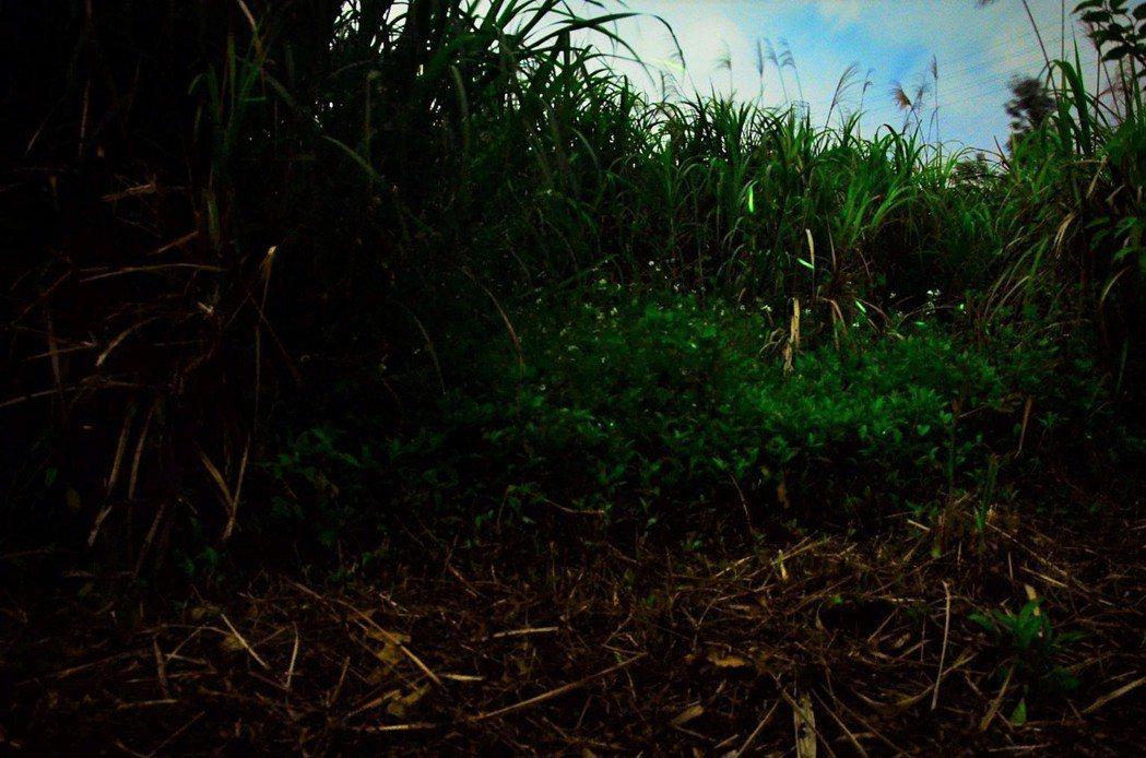 最近暖暖水源地已有螢火蟲出沒,已吸引民眾賞螢,但大量出現預計在4月下旬及5月初。...