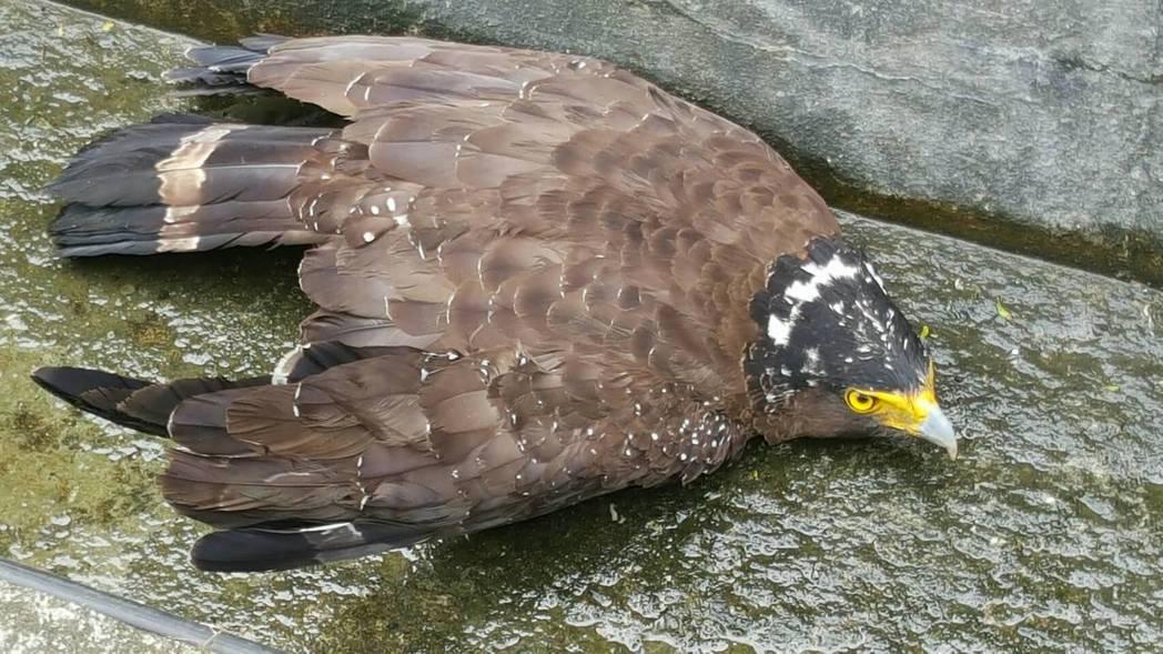 大冠鷲因為覓食,卻在低飛的過程中不慎與1部遊覽車發生撞擊。圖/警方提供