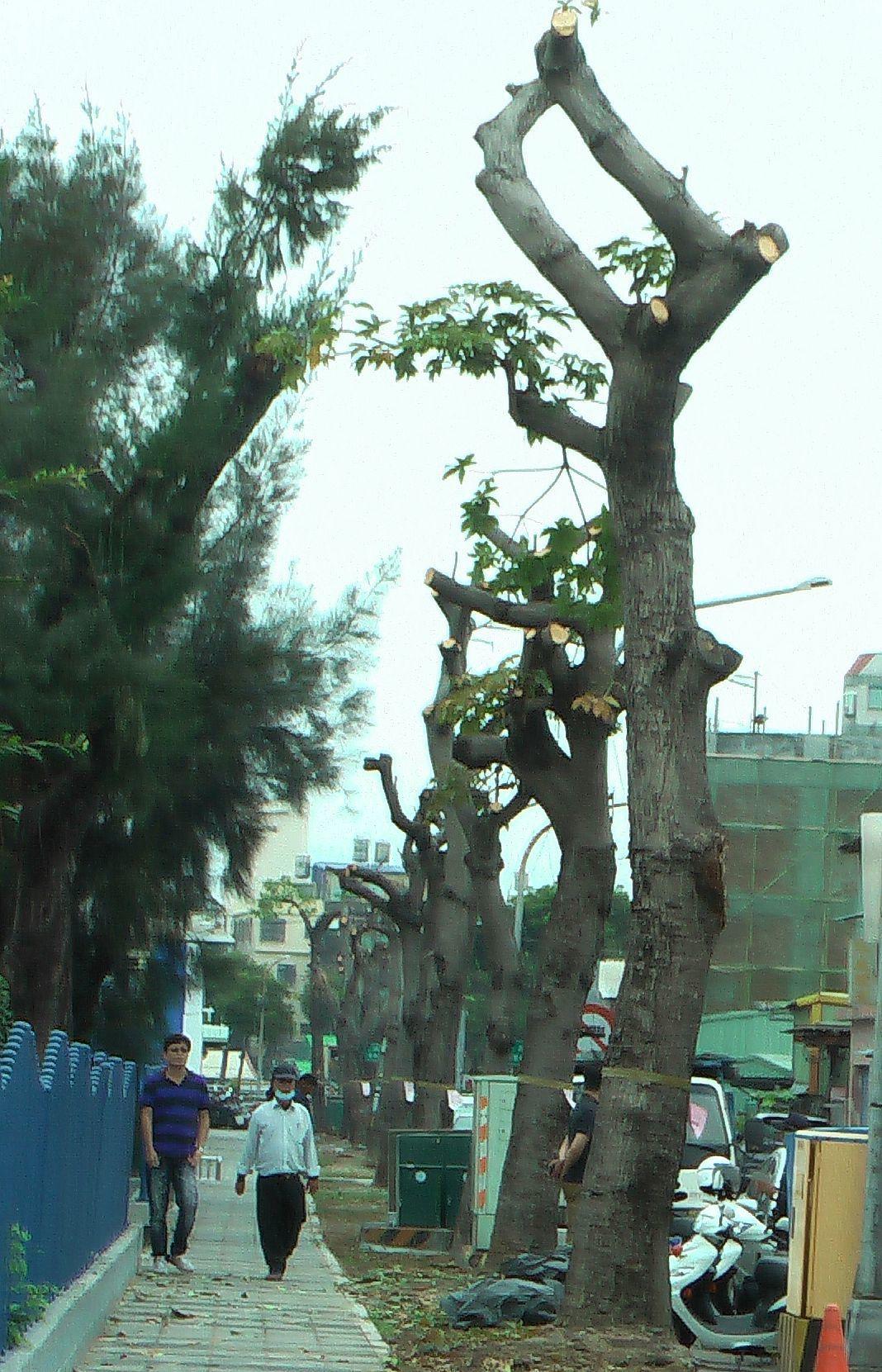 樹木不當修剪及移植,常引起護樹團體抗議。記者徐如宜/攝影
