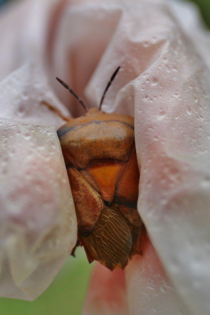 著名的害蟲「荔枝椿象」開始進入活動期,金門現在也發現牠的繁衍足跡。圖/金門縣政府...