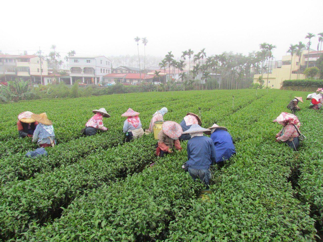 冬天採果較少,農業耕新團曾經乏人申請。本報資料照片
