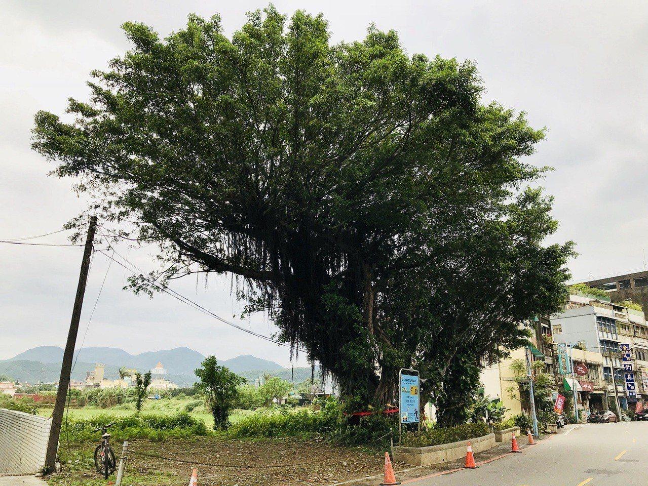 新北市金山地區市地重劃開發工程範圍內,2棵「珍貴老樹」級的榕樹,其中1棵更是5人...