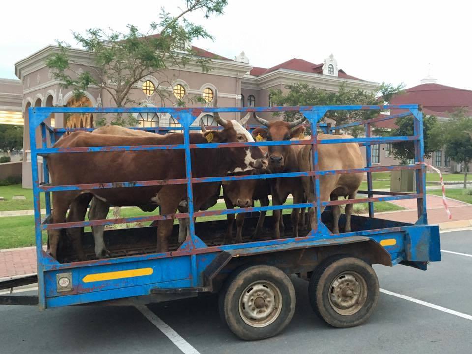 2018年,蔡英文總統在當地購買牛隻,致贈給史史瓦濟蘭國王與王母。 記者周佑政/...
