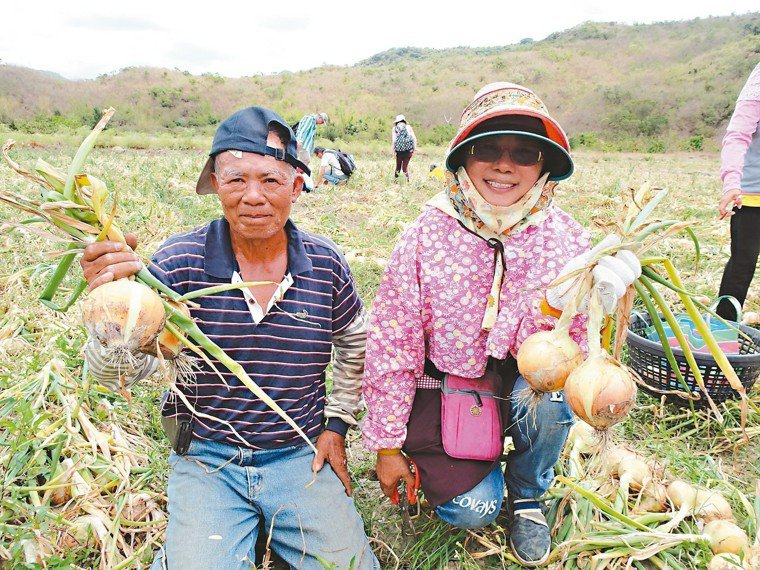 洋蔥盛產,屏東蔥農蔡恆泰(左)和潘桂春採取友善耕法,種植的洋蔥可現切現吃,營養師...