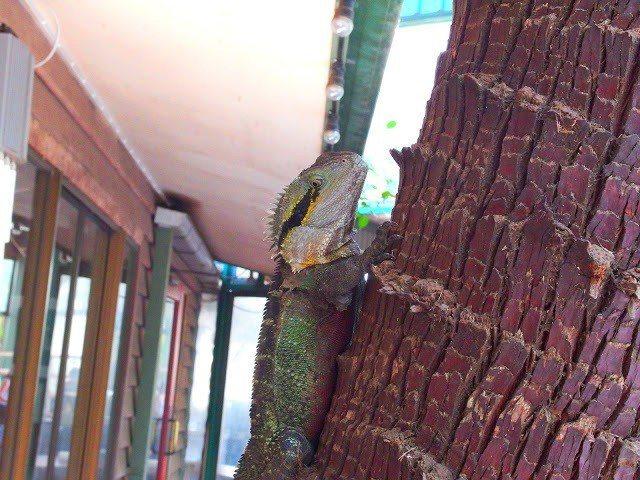 在領照片區偶遇的蜥蜴,不知道是什麼名字,但常常在路過的地方突然遇見他,然後小小的...