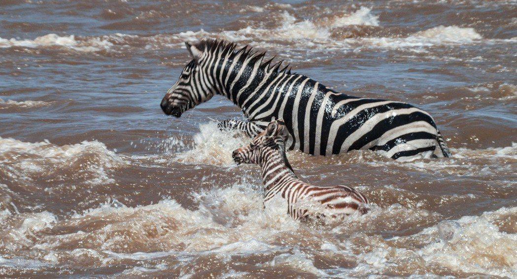 斑馬渡河。圖/甲上提供