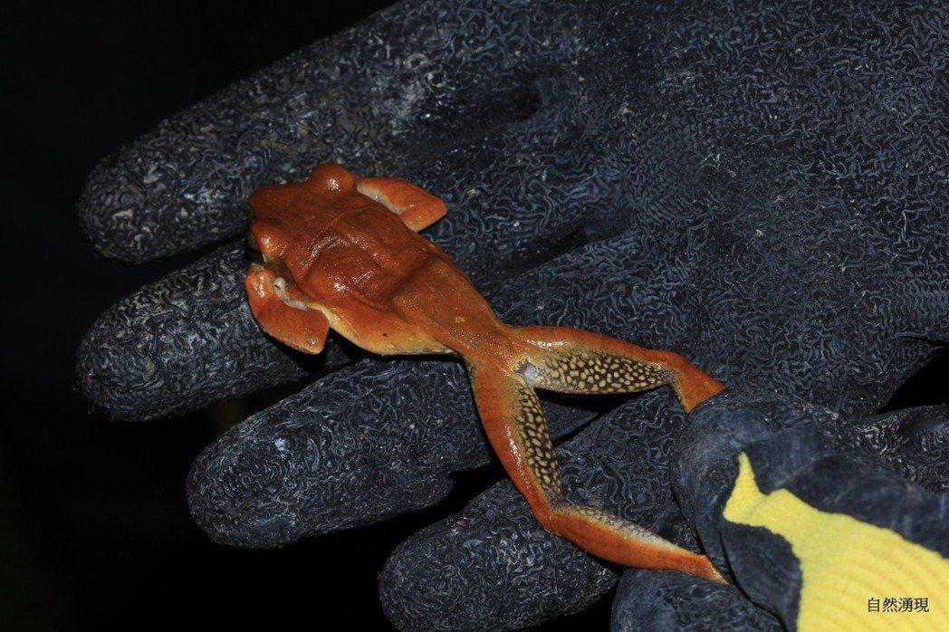 斑腿樹蛙飄洋過海到台灣,近年攻城掠地,侵占原生樹蛙的棲地,宜蘭也淪陷了,縣府與志工協力移除。圖/東華大學台灣兩棲類保育志工團隊宜蘭李佳翰蛙調小隊提供