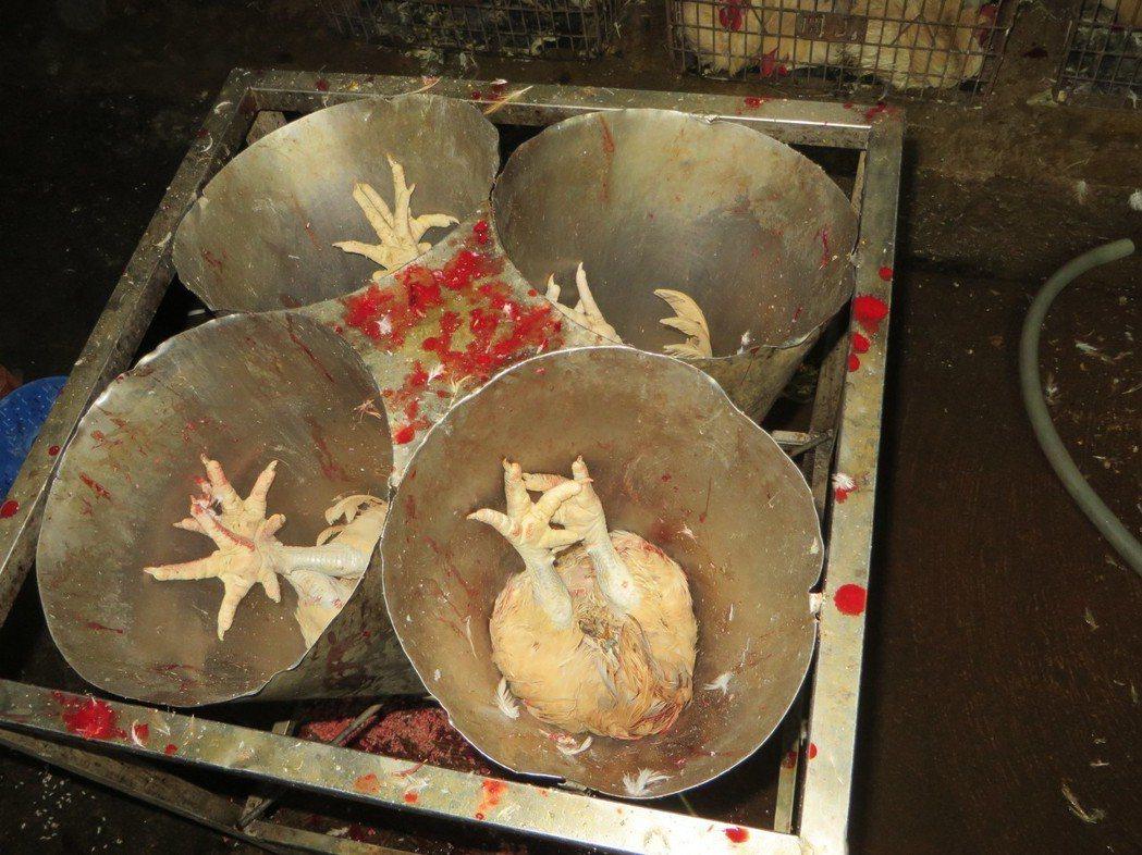 查獲的違法私宰場環境非常髒亂,放血桶骯髒汙穢,業者表示要作米血糕。記者卜敏正/翻...
