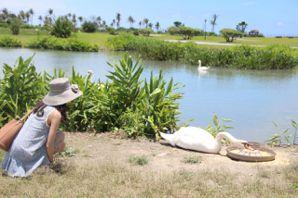 湖邊的天鵝。