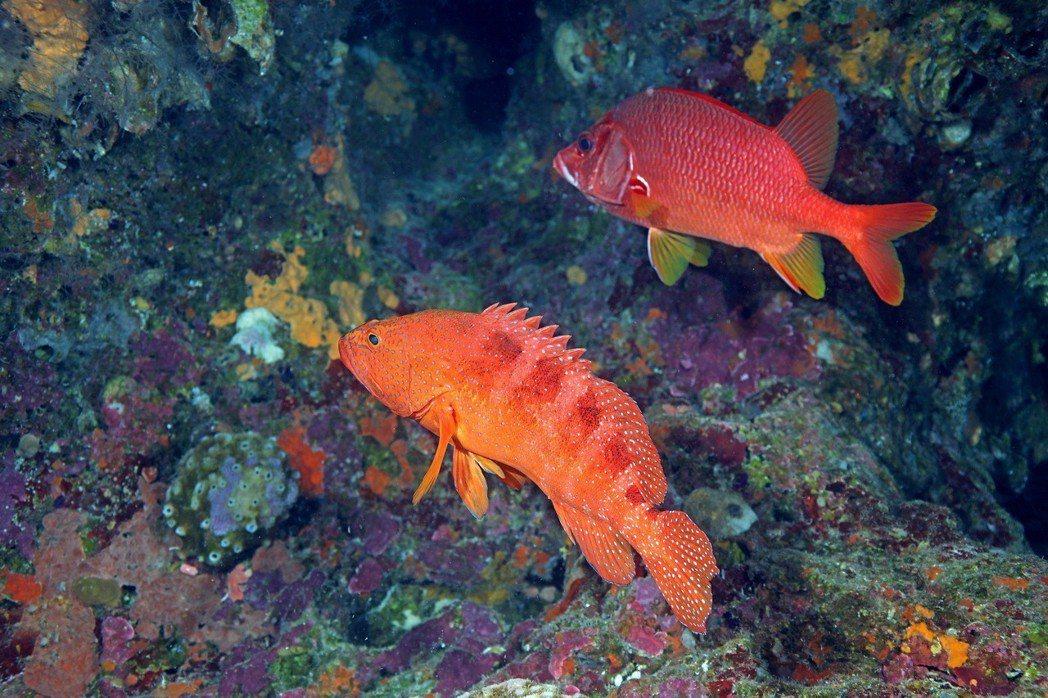 六斑九刺鮨(六斑鱠、石斑)(下)與尖吻棘鱗魚(金鱗甲、鐵線婆)(上)。 圖/漁業...
