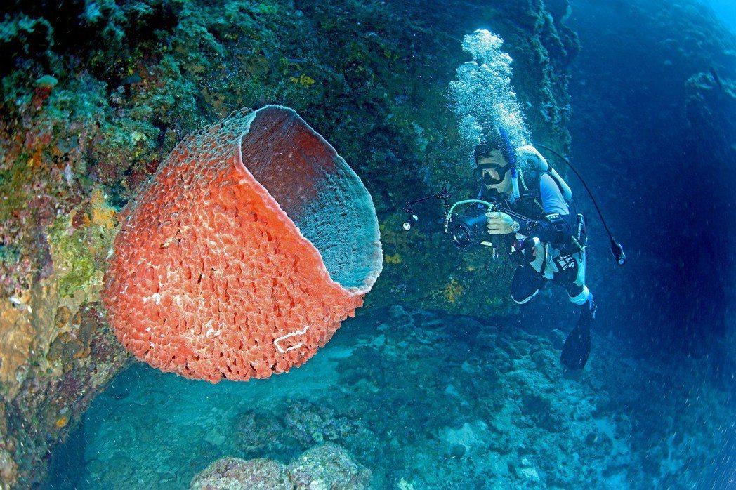 桶狀海綿。 圖/漁業署提供