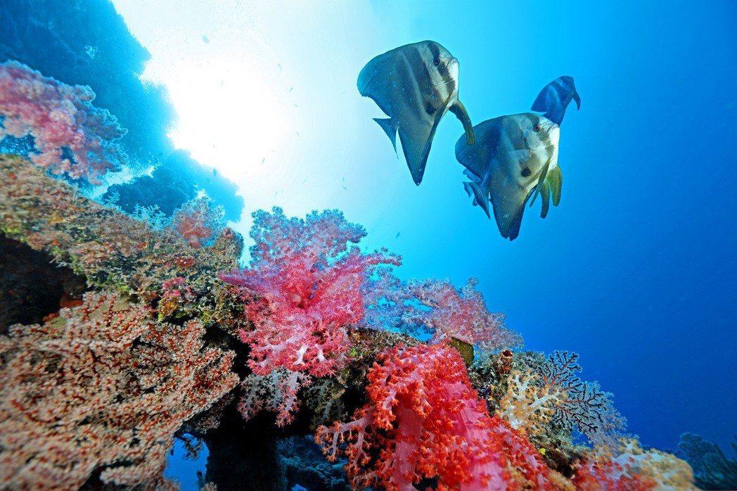 尖翅燕魚(鯧仔)與棘穗軟珊瑚。 圖/漁業署提供